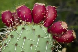 growing-prickly-pear_mini-e1447743403275